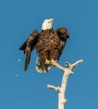 American bald eagle shaking Stock Photography