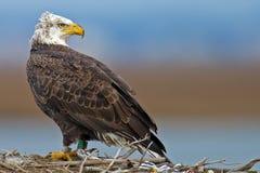 American Bald Eagle Stock Image