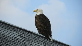 American Bald Eagle. Sitting on a roof top stock video footage