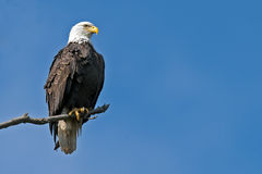 American Bald Eagle. Sitting on a tree branch royalty free stock images