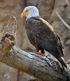 The American Bald Eagle. Standing proud and tall for the symbol of america Royalty Free Stock Photography