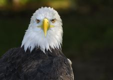 American Bald Eagle Straight on Glare Stock Photo