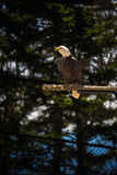 American Bald Eagle Royalty Free Stock Images