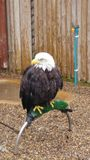 American Bald Eagle. Taken at a ird sanctuary Royalty Free Stock Image