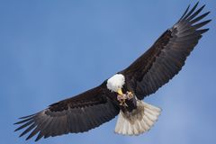 American Bald eagle trying to hold onto it`s food on the fly. The wings are fully stretched and trying to hold the meal with its paws and beak stock photos