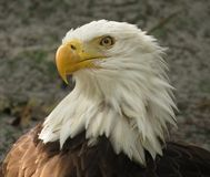 American  bald eagle. This was taken in florida a few days ago Royalty Free Stock Photography