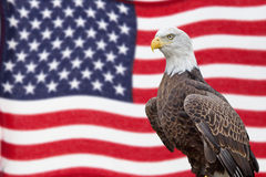 American Bald Eagle and Waving Flag royalty free stock images