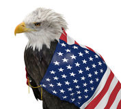 American bald eagle wearing the United States country flag. Bald eagle caped with a flag of The United States of America, isolated over a white background Stock Images