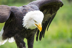 American Bald Eagle with wings outstretched Royalty Free Stock Photography