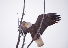 American Bald Eagle with Wings Spread Royalty Free Stock Photos