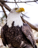 American Bald Eagle in Winter Setting Stock Photos