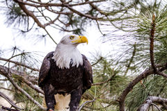 American Bald Eagle in Winter Setting Stock Photography