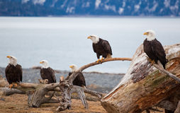 American Bald Eagles. A photo of several American Bald Eagles on perches. The photo was taken in Homer, Alaska Royalty Free Stock Photos