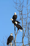 American Bald Eagles. Four American Bald Eagles perched in very nice light Royalty Free Stock Images