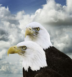 American Bald Eagles Stock Images
