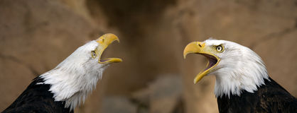 American bald eagles Royalty Free Stock Image