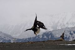 American bald eagles fighting for food. American bald eagles fighting over fish in Homer Alaska Stock Images