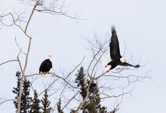 American Bald Eagles perched and starting to fly Stock Images