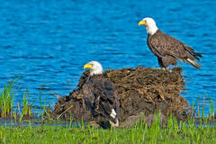 American Bald Eagles Stock Photo