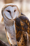 American Barn Owl. An American Barn Owl perched in a North Carolina Forest Royalty Free Stock Photo