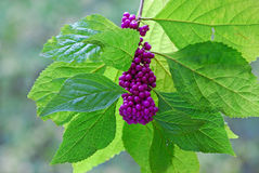 American Beautyberry Stock Photography