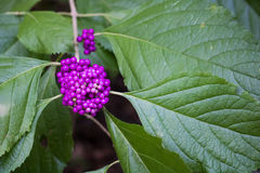 American Beautyberry. Closeup of purple Beautyberries against dark green leaves. Also known as American Mulberry Stock Photo
