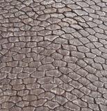 American Beaver Tail Detail Stock Image