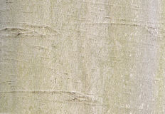 American Beech Bark Stock Photo