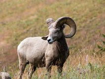 American bighorn sheep on a meadow Stock Photography