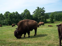 American Bison. Grazing royalty free stock images