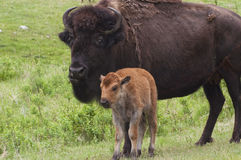 American Bison. Along the Custer State Park Wildlife Loop in the Blak Hills of South Dakota Stock Images