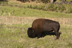 American Bison. Along the Custer State Park Wildlife Loop in the Blak Hills of South Dakota Royalty Free Stock Images