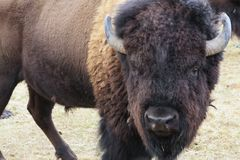 American Bison. Pine Mountain Ranch, Bend, Oregon Stock Photography