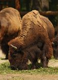 American bison. (buffalo) eating grass Royalty Free Stock Photos