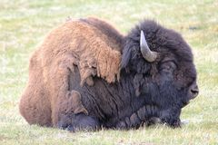 American Bison Royalty Free Stock Images