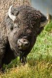 American Bison. Closeup Portrait of American Bison Stock Photos
