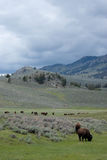 American Bison. Graze in the foothills of the Rocky Mountains Stock Images