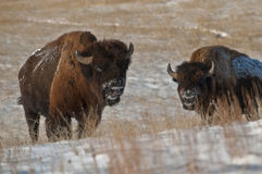 American Bison. The American bison (Bison bison), also commonly known as the American buffalo, is a North American species of bison that once roamed the Royalty Free Stock Photography