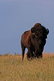 American bison. Or buffalo in the Great Plains of North America Stock Photos