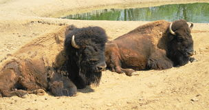 American Bison. (Bison bison) is the national animal, the largest mammal of the American continent Royalty Free Stock Image