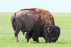 American Bison Stock Image