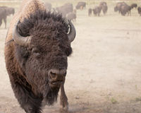 American Bison. Wild Buffalo (American Bison) close up, with herd in the background.  Custer State Park, South Dakota Stock Images