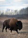 American Bison. Bull wanders away from the herd.  Riding Mountain National Park, Manitoba, Canada Royalty Free Stock Photos