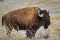 American Bison. Bison on the high plains of Colorado royalty free stock photo