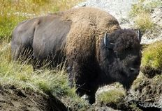 American Bison. In Yellowstone National Park, Wyoming standing near mud wallow and rocks royalty free stock photos