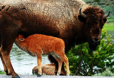 Free American Bison Royalty Free Stock Photos - 5309968
