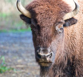 American Bison. An american bison staring at the viewer Royalty Free Stock Photography