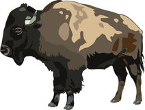 American bison. S are valuable bison, and they have very large body Stock Photos