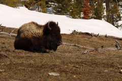 American Bison Along The Edge Of Winter. An American Bison resting along the edge of melting snow in early spring Stock Images