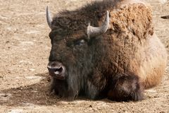 Portrait of one American bison Royalty Free Stock Images